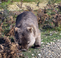 Wombats about at Narawntapu National Park, Tasmaniaq