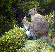 Wallabies at Cradle Mountain National Park, Tasmanian Central Highlands
